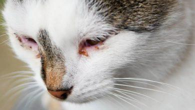 آبریزش چشمی در گربه ها، از علت تا درمان   دام و پت