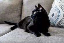 گربه سیاه، جذاب ترین نژاد گربه خانگی | دام و پت