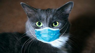 آیا گربه ها به کرونا مبتلا می شوند؟ | دام و پت