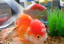 بیماری های قارچی در ماهی   دام و پت