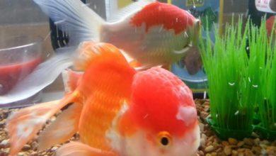 بیماری های قارچی در ماهی | دام و پت