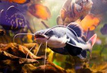 نحوه پرورش ماهیان پانگاسیوس   دام و پت