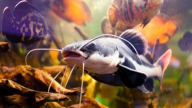 نحوه پرورش ماهیان پانگاسیوس | دام و پت