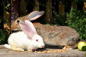 شایع ترین علل نفخ شکم در خرگوش   دام و پت