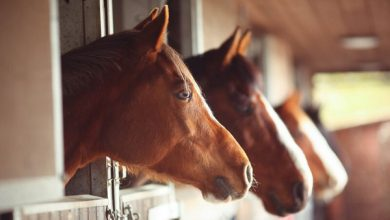 اصطبل مناسب برای اسب چه ویژگی هایی دارد؟ | دام و پت