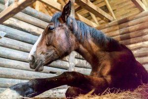آیا اسب به کرونا مبتلا می شود؟   دام و پت