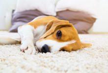 اسهال و استفراغ خونی در سگ ها   دام و پت