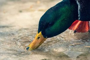 علت اسهال در اردک || دام و پت
