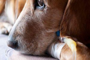 لپتوسپیروز در سگ ها، از علل تا درمان   دام و پت