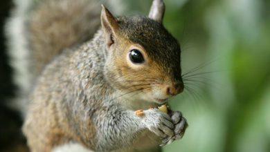 صفر تا صد آنچه که باید در مورد سنجاب بدانید. | دام و پت