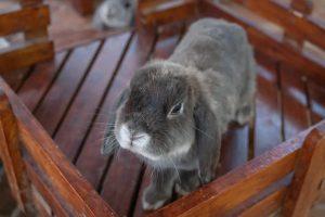 خرگوش لوپ هلندی | دام و پت
