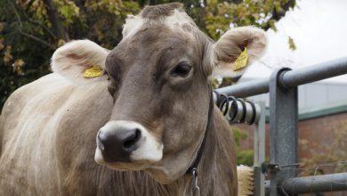 اسهال ویروسی گاو چیست و چگونه درمان می شود؟   دام و پت