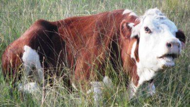بیماری تب سه روزه گاوی | دام و پت