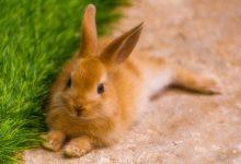 عفونت گوش در خرگوش و راهکارهای درمانی آن | دام و پت