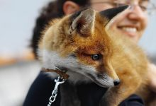 نگهداری از روباه برای حیوان خانگی | دام و پت