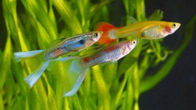 شایع ترین بیماری در ماهی های گوپی | دام و پت