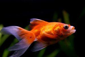 علل لکه های قرمز در ماهی آکواریومی   دام و پت