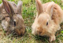 چگونه کک در خرگوش را درمان کنیم؟ | دام و پت