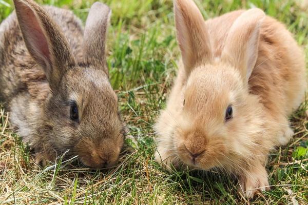 چگونه کک در خرگوش را درمان کنیم؟   دام و پت