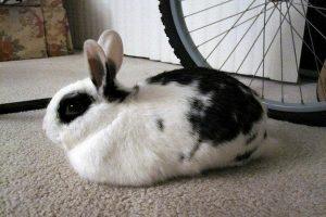 چرا خرگوش من می لرزد؟ | دام و پت