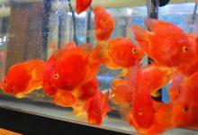 طوطی خون یا ماهی پرت را بهتر بشناسید. | دام و پت