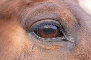 بیماری چشم صورتی در اسب | دام و پت