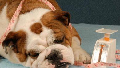 عوارض چاقی و اضافه وزن در سگ ها   دام و پت