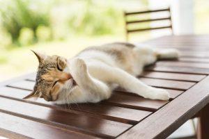 شوره سر در گربه ها را جدی بگیرید. | دام و پت