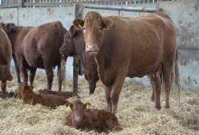 علت سقط جنین در گاو چیست؟ | دام و پت