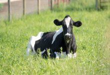 گاو ها چقدر عمر می کنند؟ | دام و پت