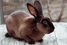 آیا خرگوش به کزاز مبتلا می شود؟ | دام و پت