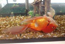بیماری مثانه شنا در ماهی قرمز چیست؟ | دام و پت