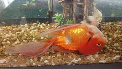 بیماری مثانه شنا در ماهی قرمز چیست؟   دام و پت