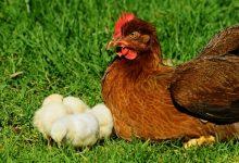 10 پرسش و پاسخ در مورد نگهداری از مرغ ها | دام و پت