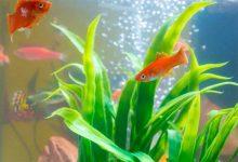 بوی بد ماهی قرمز در مخزن | دام و پت