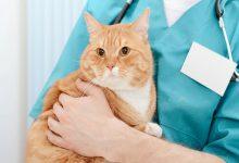 عقیم سازی گربه خانگی چگونه انجام می شود؟ | دام و پت