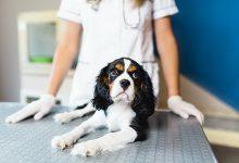 عقیم سازی سگ چگونه انجام می شود؟ | دام و پت