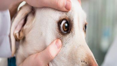 زخم قرنیه در سگ ها   دام و پت