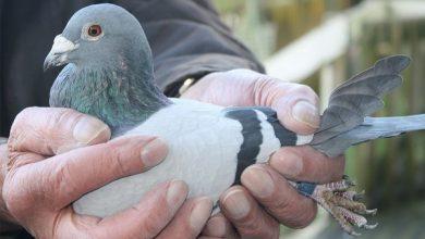 برنامه واکسیناسیون کبوتر | دام و پت