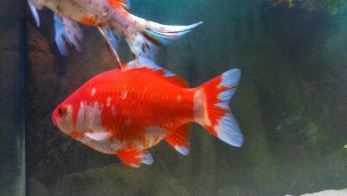 یبوست در ماهی قرمز (درمان، علل، پیشگیری، علائم)   دام و پت