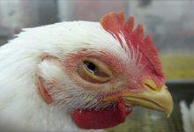 برونشیت عفونی در مرغ و عوارض آن | دام و پت