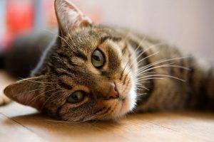 یبوست در گربه ها، علائم تشخیصی و راهکارهای درمانی | دام و پت