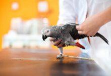 بیماری های انگلی در پرندگان خانگی را بشناسید. | دام و پت