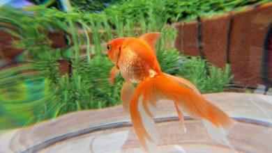 چه کار کنیم ماهی قرمز بیشتر و بهتر رشد کند؟   دام و پت