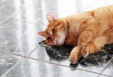 آسم گربه ای، یک بیماری مادام العمر در حیوان خانگی شما | دام و پت