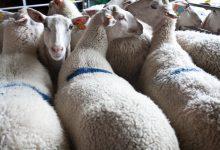 بیماری اسکرپی در گوسفندان | دام و پت