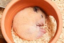 علت خواب زیاد همستر | دام و پت