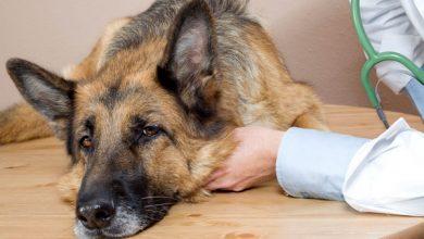 مسمومیت آفلاتوکسین در سگ | دام و پت