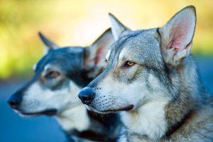 سگ گرگاس، ویژگی های رفتاری تا شایع ترین بیماری ها | دام و پت