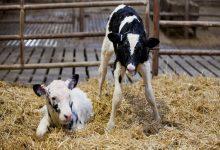 عفونت ناف در گوساله از علائم تا درمان   دام و پت
